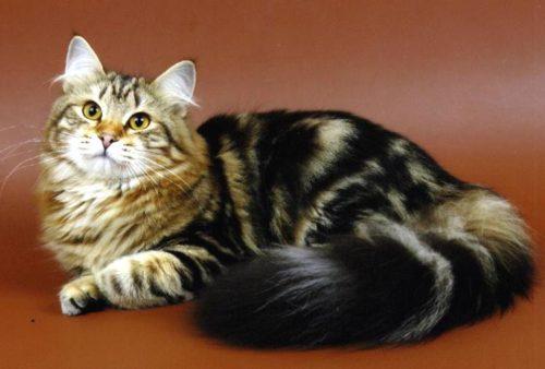 Пушистая сибирская кошка на коричневом фоне