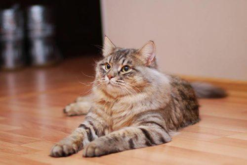 Пушистая сибирская кошка в квартире на полу