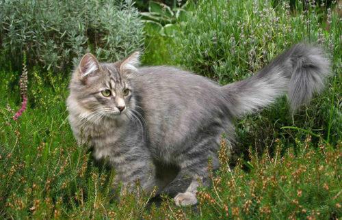 Серая пушистая сибирская кошка на траве