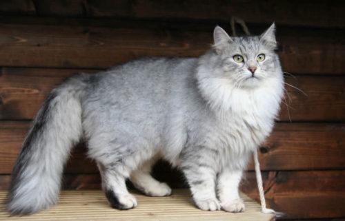 Пушистая серая сибирская кошка на деревянной поверхности