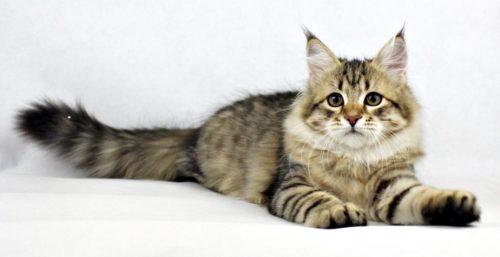 Пушистая сибирская кошка на белом фоне