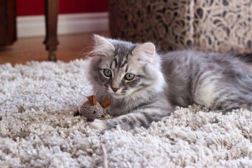 Пушистый серый котенок сибирской кошки