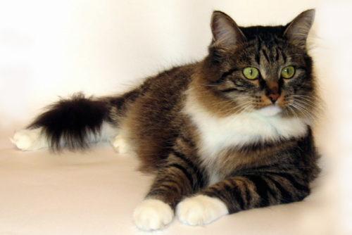 Сибирский кот на полу