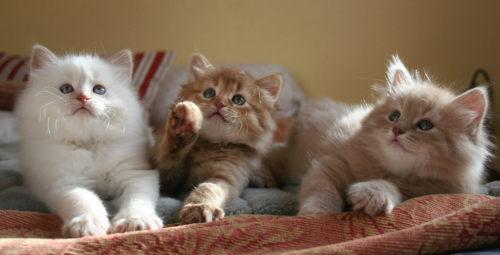 Пушистые котята сибирской кошки