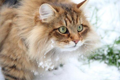 Пушистая сибирская кошка на улице зимой