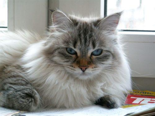Пушистая сибирская кошка у окна