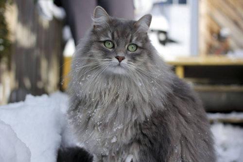 Пушистая серая сибирская кошка