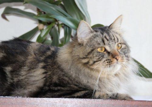 Серая пушистая сибирская кошка