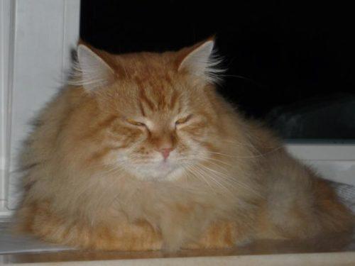 Рыжий пушистый сибирский кот на подоконнике