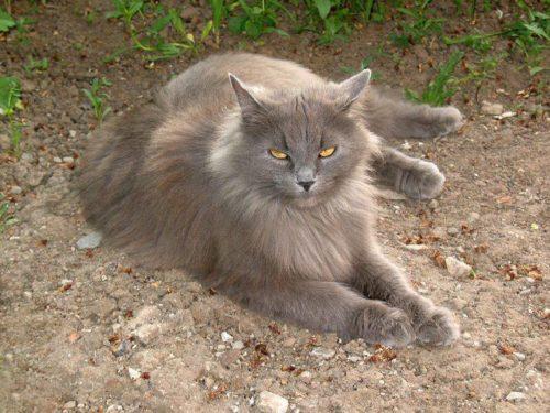 Серый пушистый сибирский кот