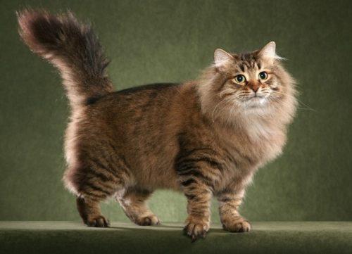 Пушистая сибирская кошка на зеленом фоне