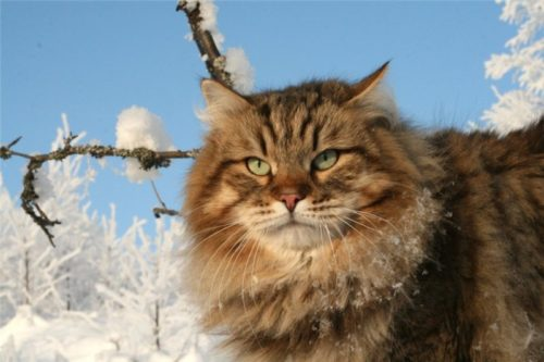 Сибирский кот зимой на улице