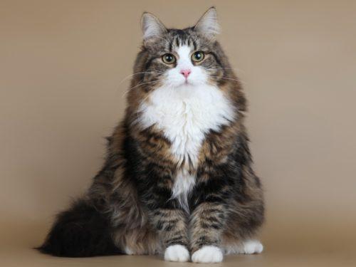 Коричневая с белым сибирская кошка