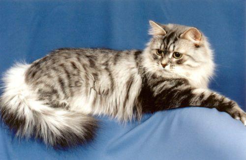 Серая полосатая пушистая сибирская кошка на голубом фоне