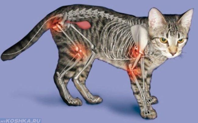 Схема очагов артроза у кошек