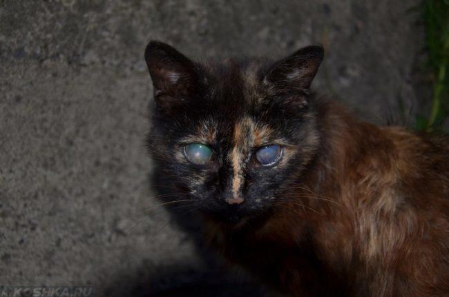 Потеря зрения у черной кошки