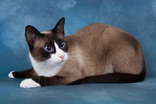 Кошка породы сноу шу с голубыми глазами на синем фоне