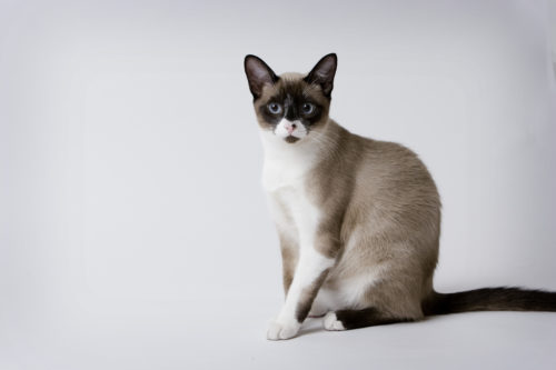 Кошка породы сноу шу с голубыми глазами на сером фоне
