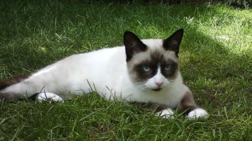Кот породы сноу шу лежит на зеленой траве