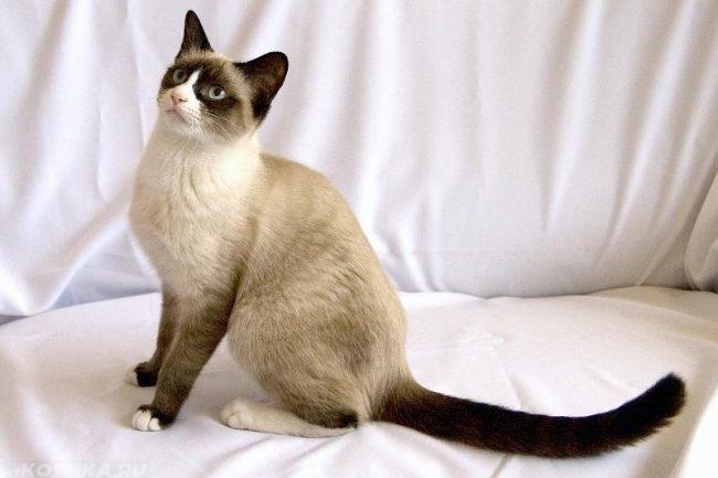 Кошка породы сноу шу с голубыми глазами сидит на белом одеяле