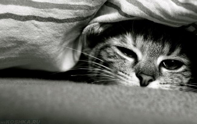 Кот спит под одеялом