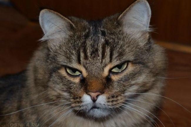 Морда коричневого полосатого кота с зелеными глазами