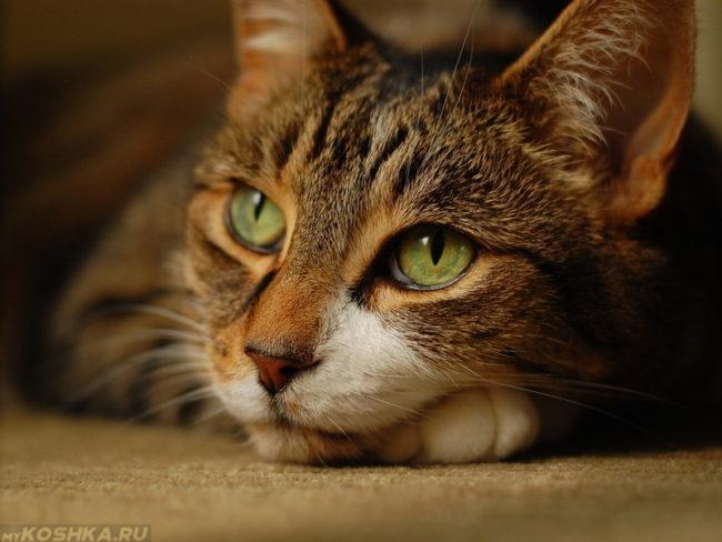 Коричневая спокойная кошка на полу