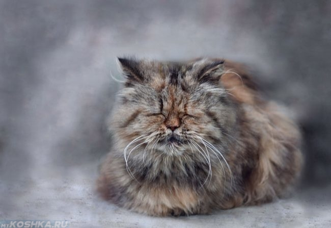 Старый пушистый кот сидит на полу закрыв глаза