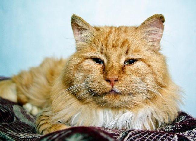 Пожилой рыжий кот лежащий на покрывале