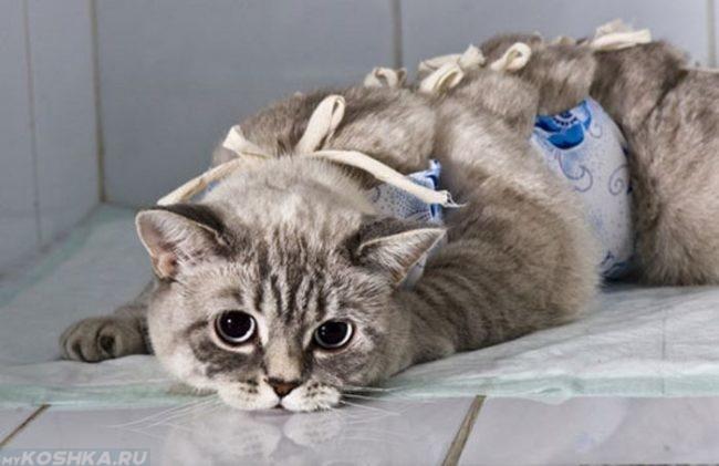 Стерилизованная кошка после операции