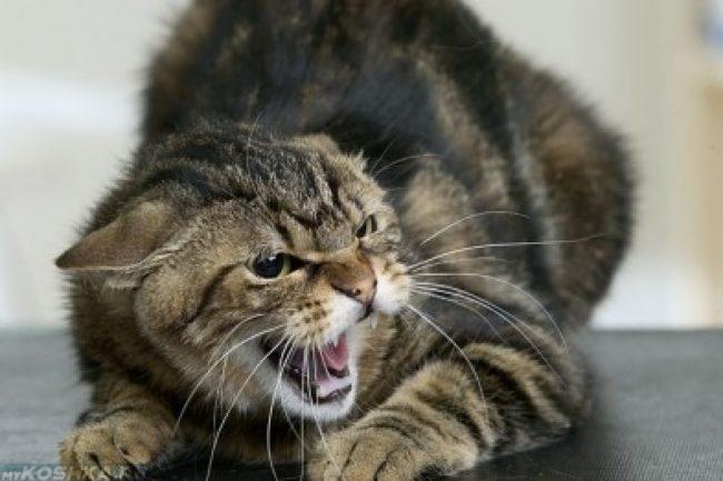 Агрессивная кошка рычит