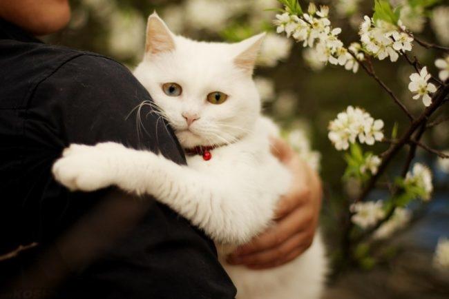 Белый пушистый кот в состоянии стресса на руках у хозяина