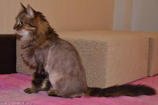 Кот с постриженной шерстью на туловище
