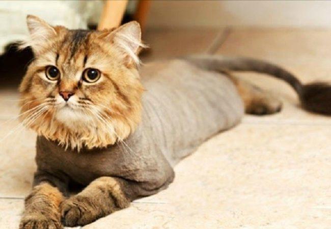 Кот после стрижки голова не стрижена