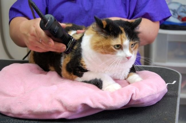 Разноцветную кошку стрижет ветеринар при помощи машинки