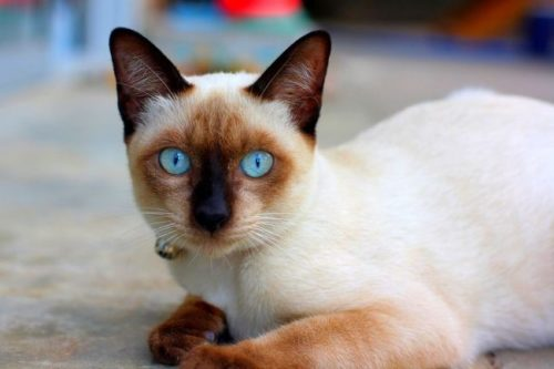 Тайская кошка с голубыми глазами и ошейником