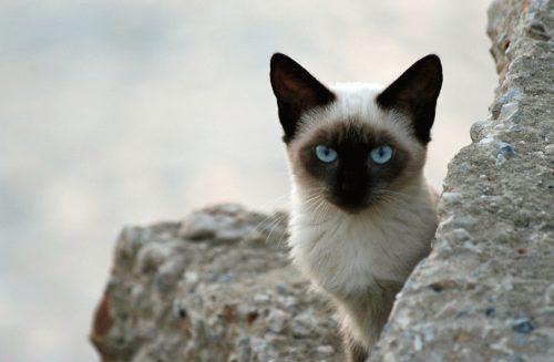 Тайская кошка с голубыми глазами сидит на сером камне