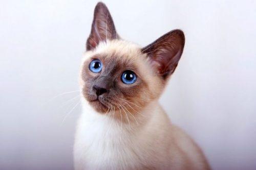 Тайская кошка с голубыми глазами на сером фоне
