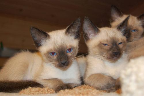 Котята тайской породы лежат облокотившись друг на друга