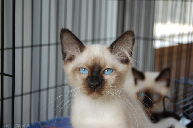 Котенок тайской породы с голубыми глазами