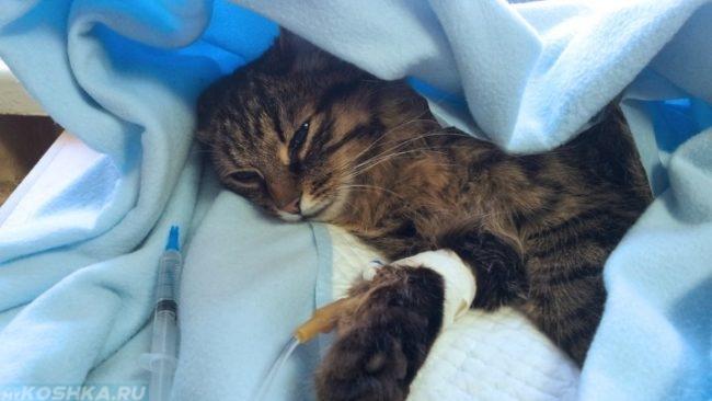 Инфузионная терапия для коричневого полосатого кота в голубом одеяле