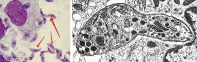 Схема проникновения токсоплазмы в клетку