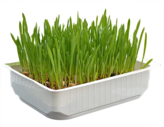 Зелёная трава для выведения шерсти из желудка кошки