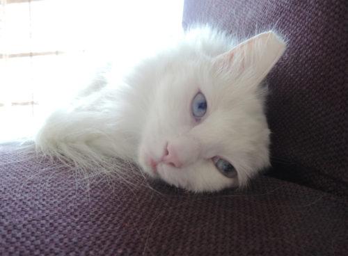 Белая кошка породы турецкая ангора лежит на коричневом диване