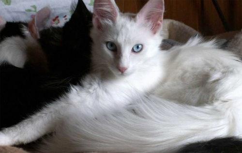 Белая пушистая кошка породы турецкая ангора
