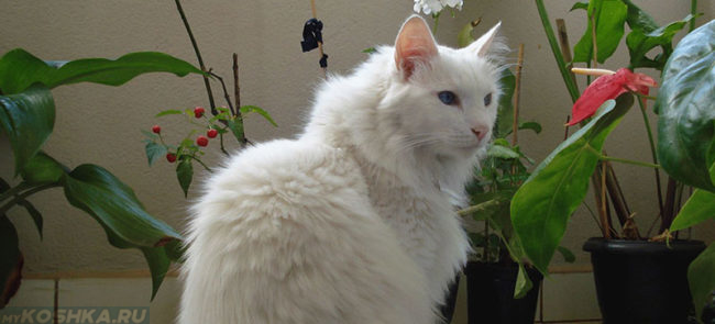 Белая пушистая кошка с голубыми глазами породы турецкая ангора сидит рядом с горшечными растениями