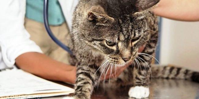 Серый полосатый кот на столе у ветеринара