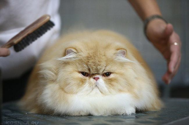 Процедура ухода за шерстью пушистого персидского кота