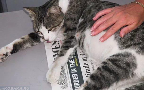 Выпадение шерсти на животе у беременной кошки