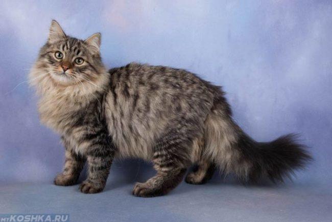 Пушистая сибирская кошка на голубом фоне